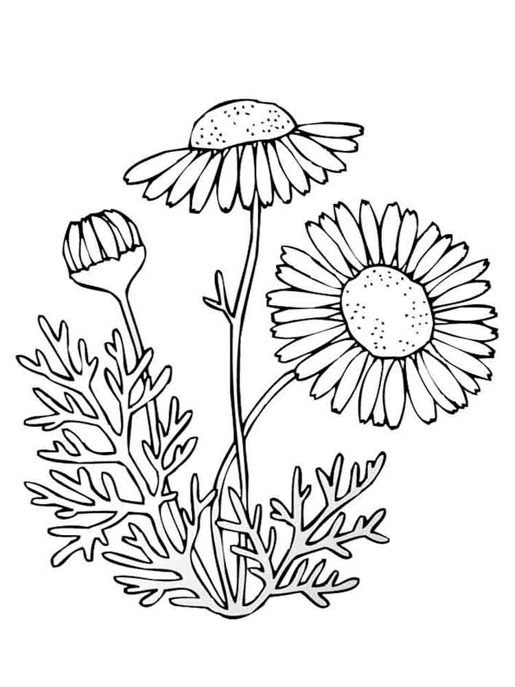 Chamomile Flower Coloring Pages Download And Print