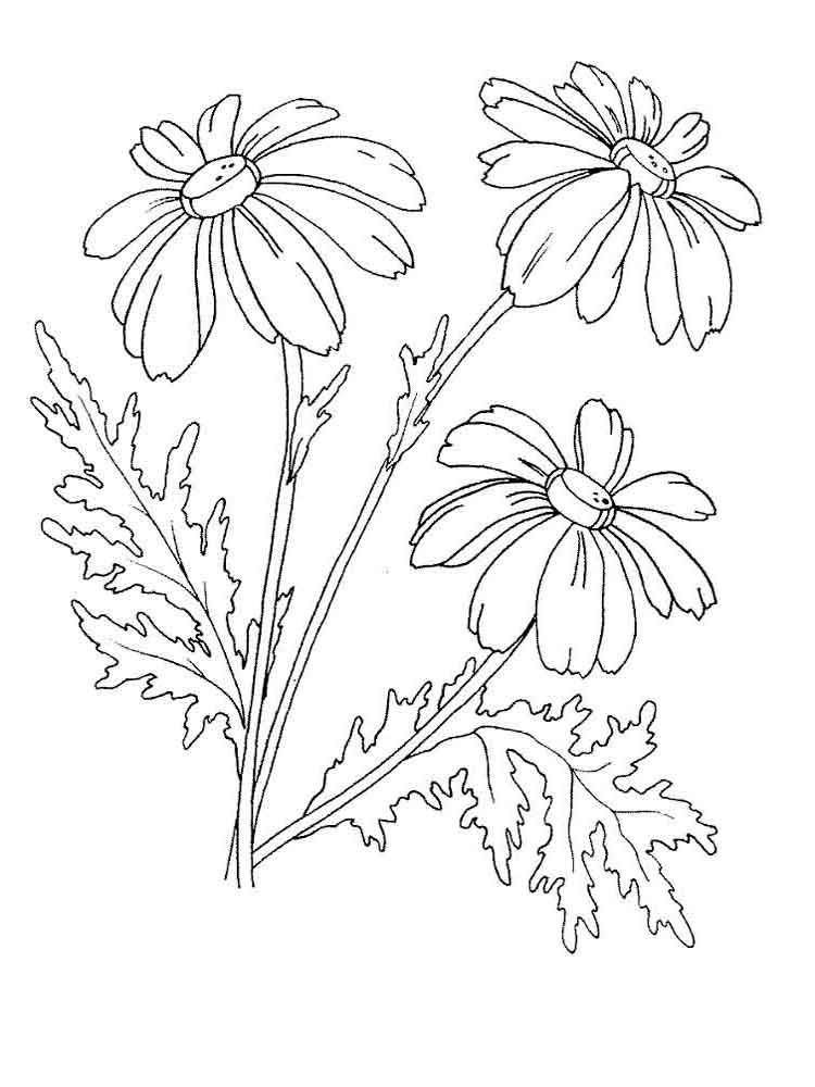 Chamomile Flower coloring pages