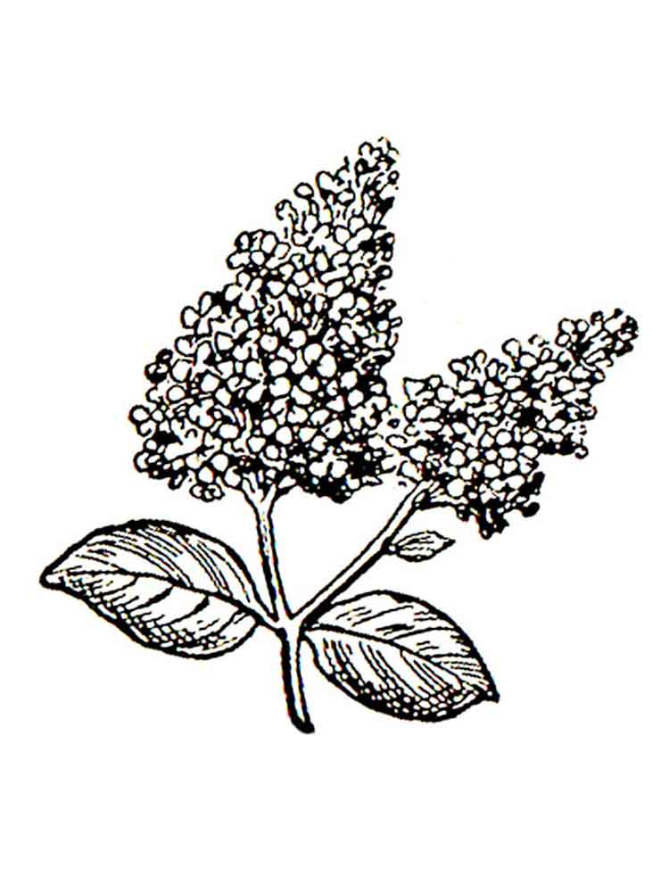 Lilac Flower coloring pages. Download and print Lilac ...