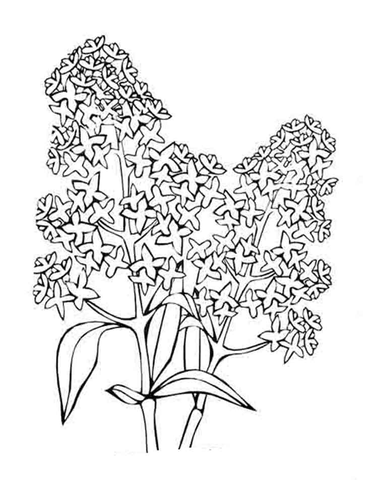 ... Lilac Flower Coloring Pages 8 ...