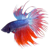 Betta fish coloring pages
