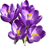 Crocus coloring pages