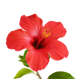 Hibiscus Flower coloring pages
