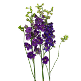 Larkspur Flower coloring pages