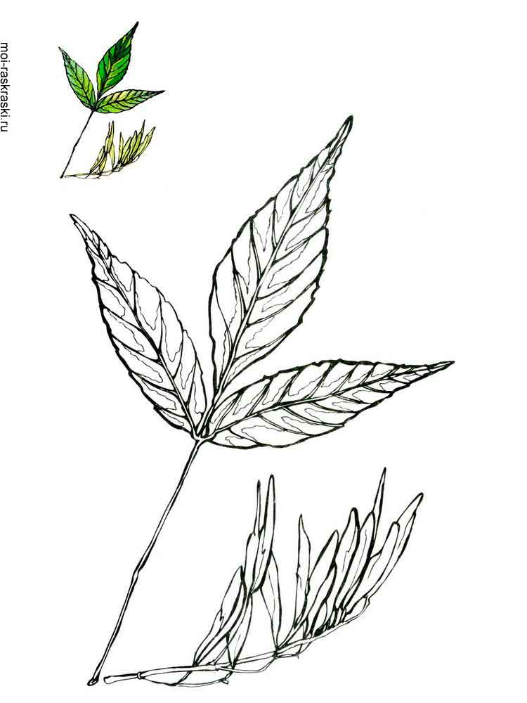 Ash Tree coloring pages for kids