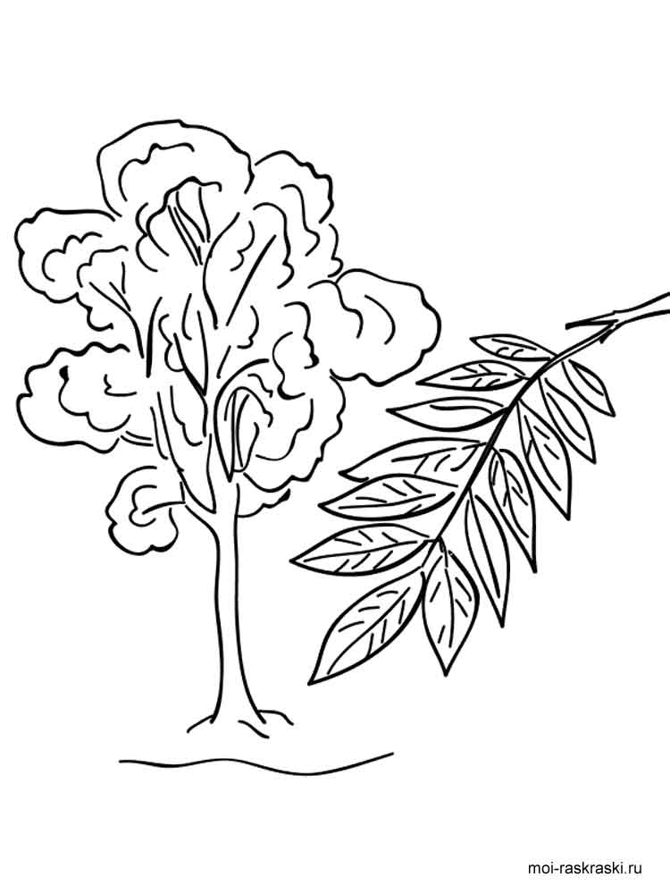 Ash Tree Coloring Pages For Kids Free Printable Ash Tree