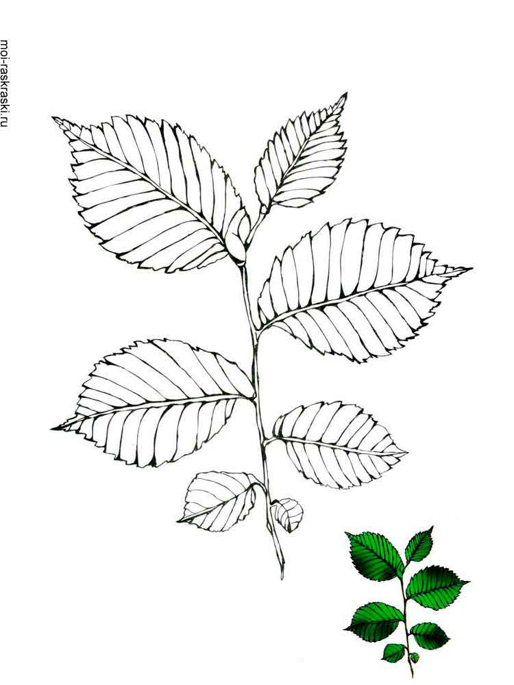 Elm Tree coloring pages for kids Free Printable Elm Tree