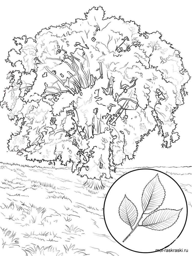 Elm Tree coloring pages for kids Free Printable Elm Tree coloring pages