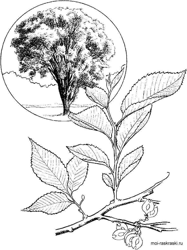 Elm Tree Coloring Pages 3