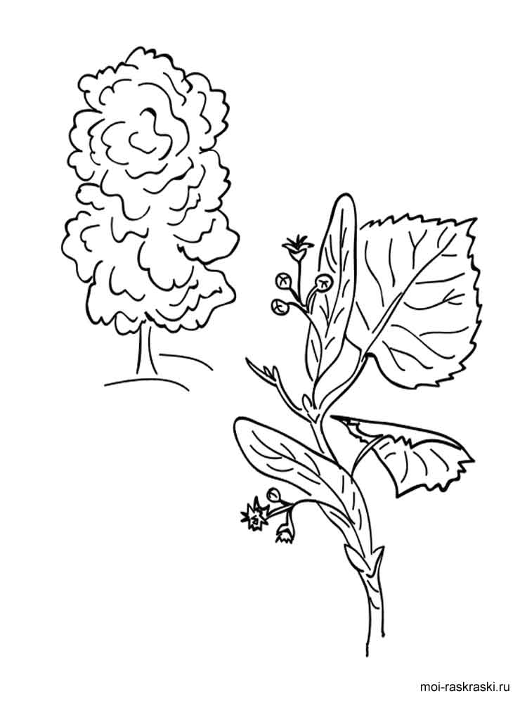 Linden Tree coloring pages for
