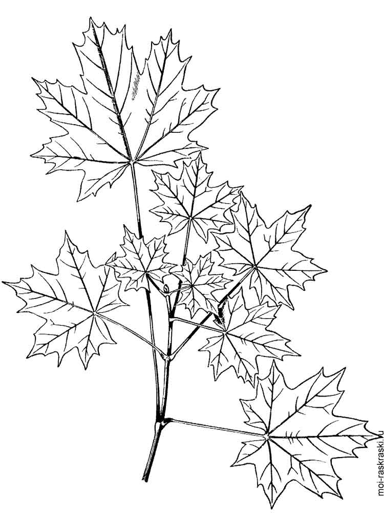 maple coloring pages - photo#16