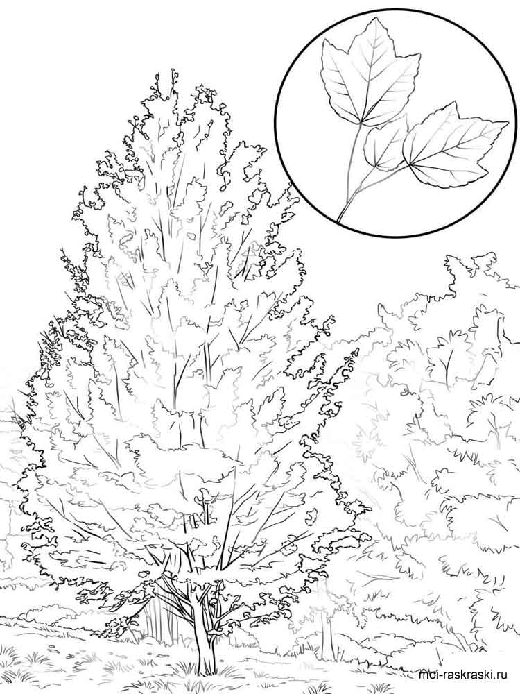 maple tree coloring pages - photo#12