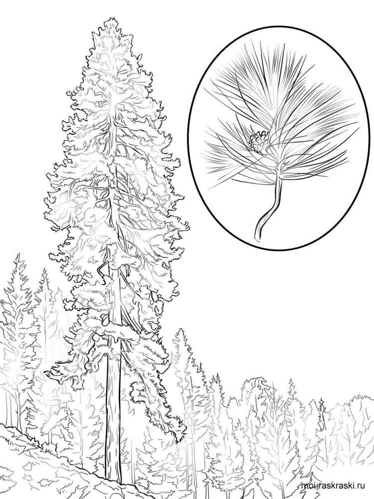 Pine Tree Coloring Pages For Kids Free Printable Pine