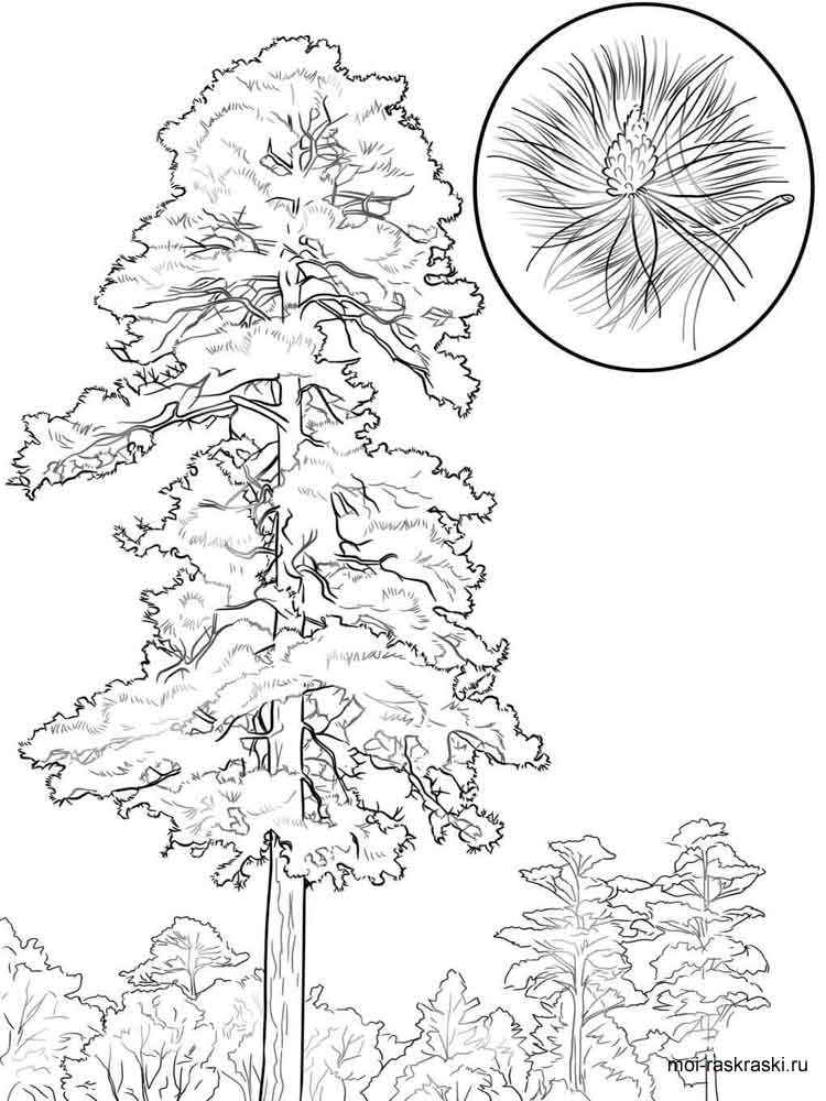 kids under pine trees coloring pages | Pine Tree coloring pages for kids. Free Printable Pine ...