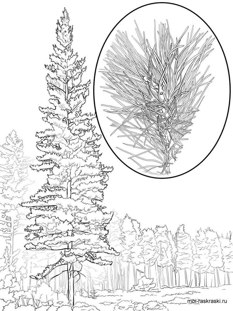 pine tree coloring pages 6