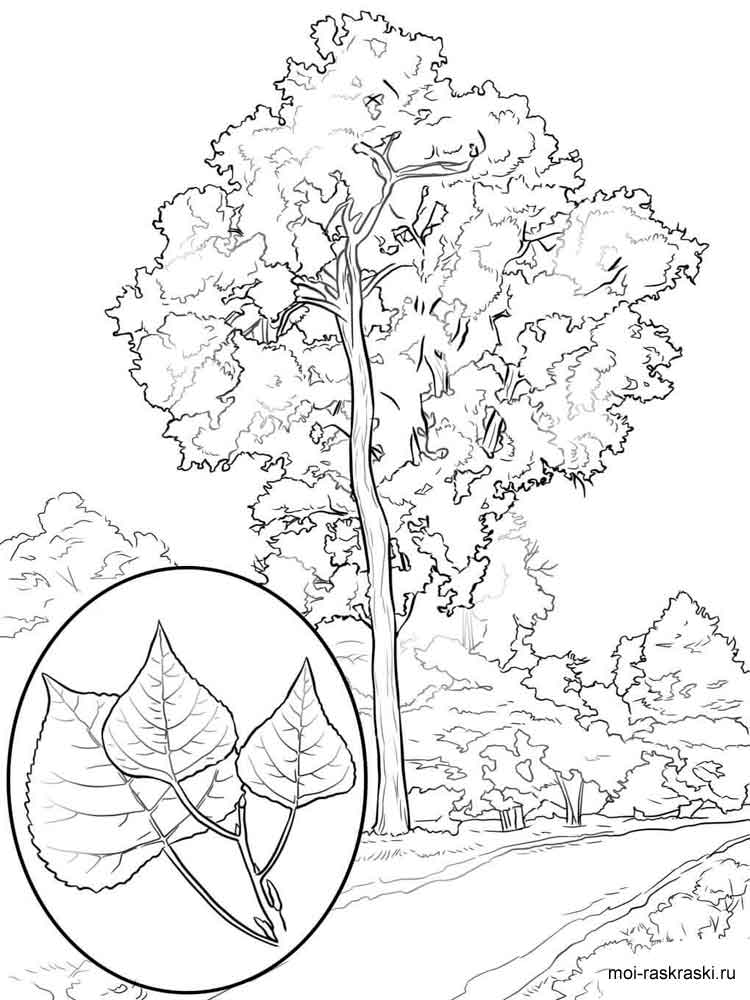 Poplar Tree coloring pages for