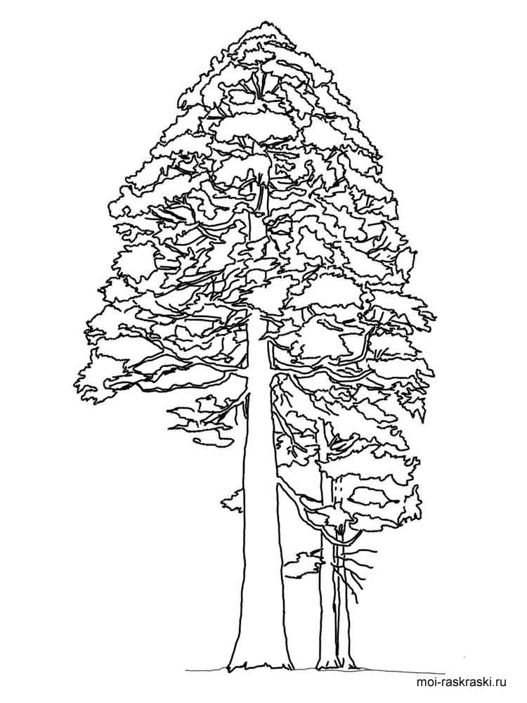 Sequoia Tree Coloring Pages 3