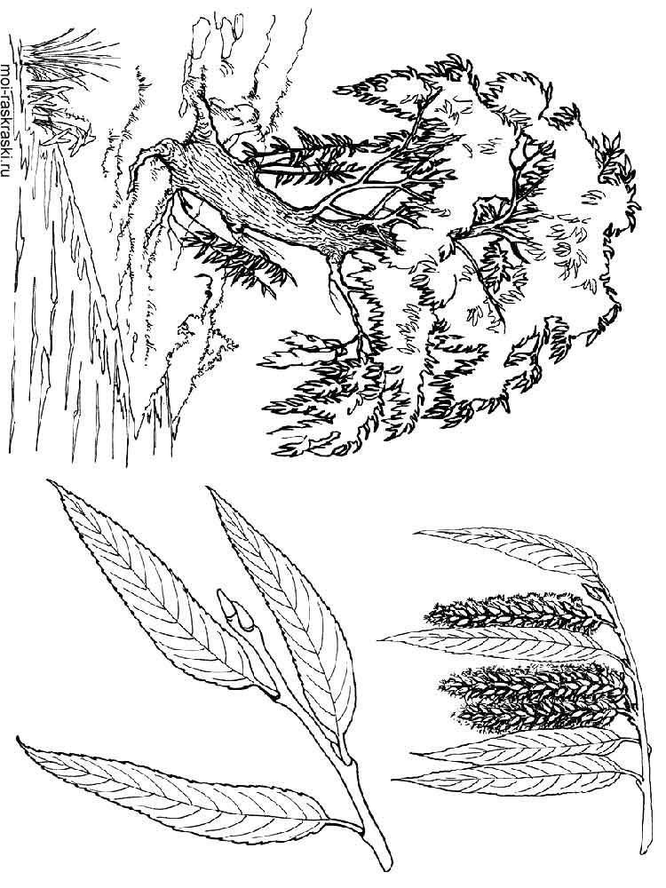 Willow Tree coloring pages for kids Free Printable Willow