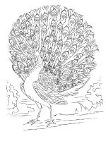 zentangle-peacock-coloring-pages-8