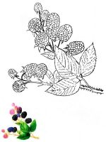 Blackberry-berries-coloring-pages-2