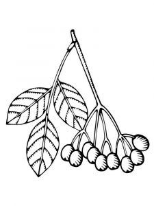 Elderberry-berries-coloring-pages-1