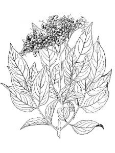 Elderberry-berries-coloring-pages-5