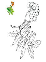 Rowan-berries-coloring-pages-1