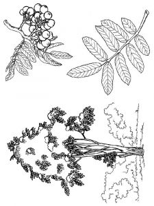 Rowan-berries-coloring-pages-3