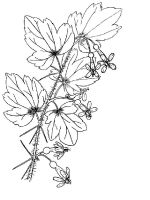 gooseberry-berries-coloring-pages-9