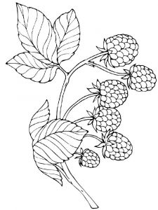 raspberries-berries-coloring-pages-14