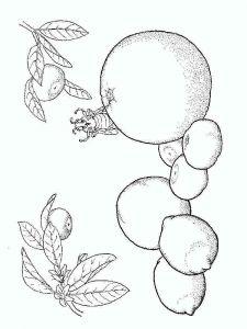 Citrus-fruits-coloring-pages-2