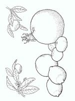 Citrus-fruits-coloring-pages-2