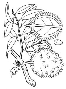 Durian-fruits-coloring-pages-6