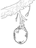 Durian-fruits-coloring-pages-9