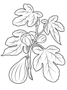Figs-fruits-coloring-pages-6