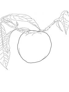 Nectarine-fruits-coloring-pages-6