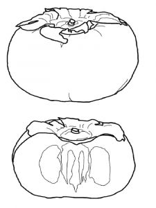 Persimmon-fruits-coloring-pages-2