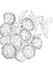 Rambutan-fruits-coloring-pages-6