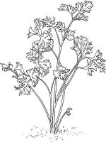 Vegetables-Parsley-coloring-page-5