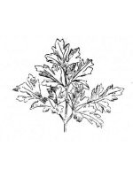 Vegetables-Parsley-coloring-page-8