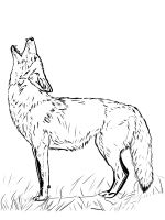 Coyote-coloring-pages-16