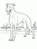 Doberman-coloring-pages-2