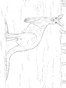 Kangaroo-animal-coloring-pages-355