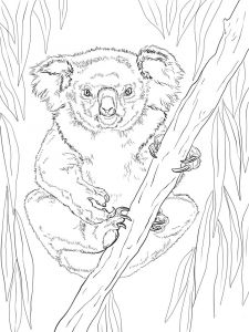 Koala-animal-coloring-pages-338