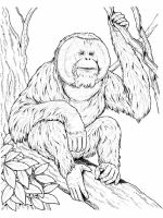 Orangutan-coloring-pages-3