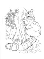 Raccoon-animal-coloring-pages-342
