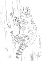 Raccoon-animal-coloring-pages-344