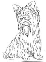 Yorkshire-Terrier-coloring-pages-11