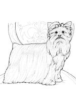Yorkshire-Terrier-coloring-pages-4