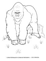 gorilla-coloring-pages-1